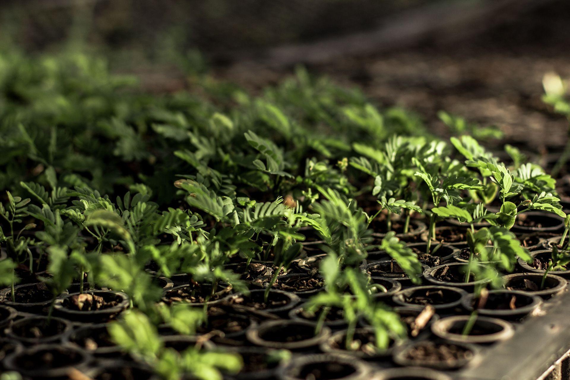 3. BRA Seedling1MonthOld July2016 WeForest
