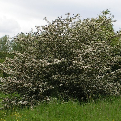 common-Hawthorn-400x400