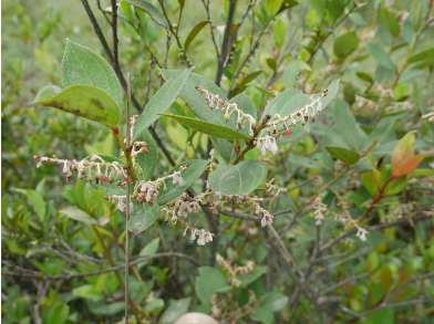 Gaultheria fragrantissima