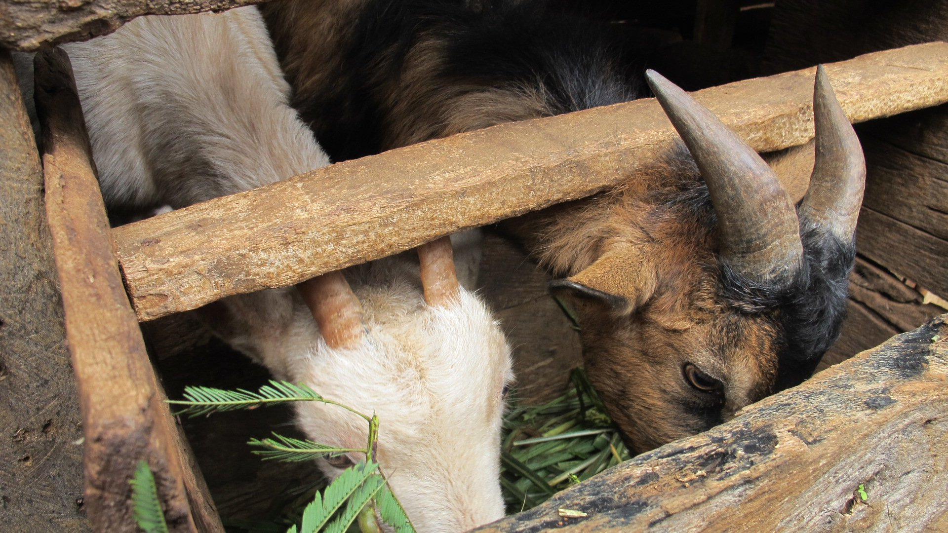 Goats eating tree tips Lauriane Cayet-Boisroberts