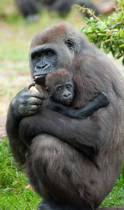 Gorilla-and-baby2