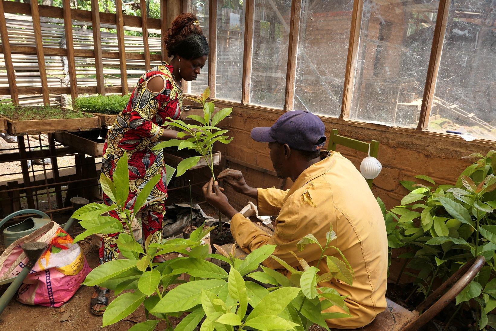 Grafting Avocado tree