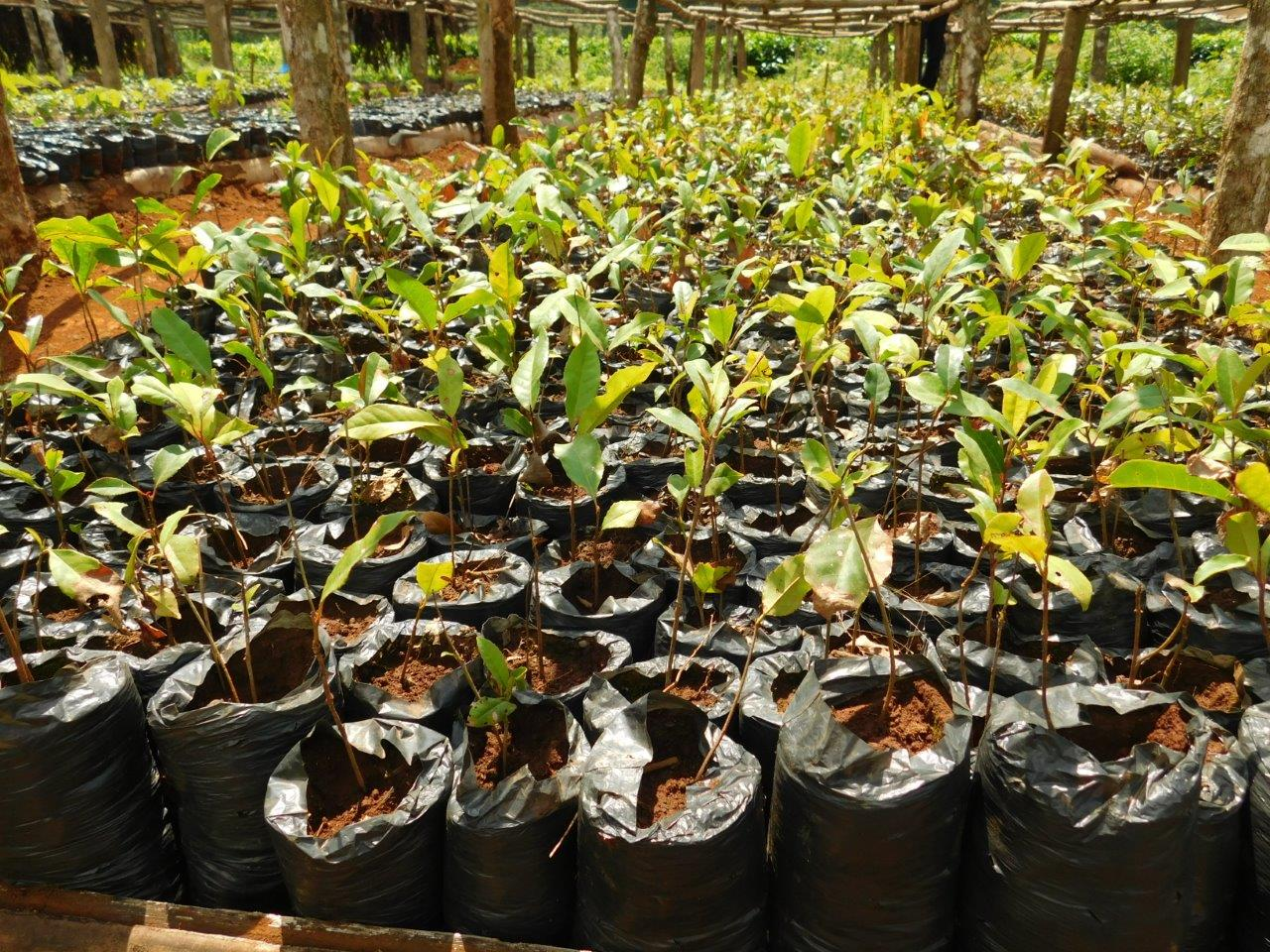 ITF Copy of Syzygium guineense seedlings at Kagaari Munyange tree nursery 1