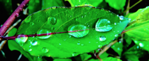 leaves-drops