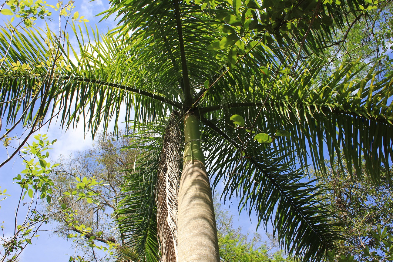 Loran Royal Palm