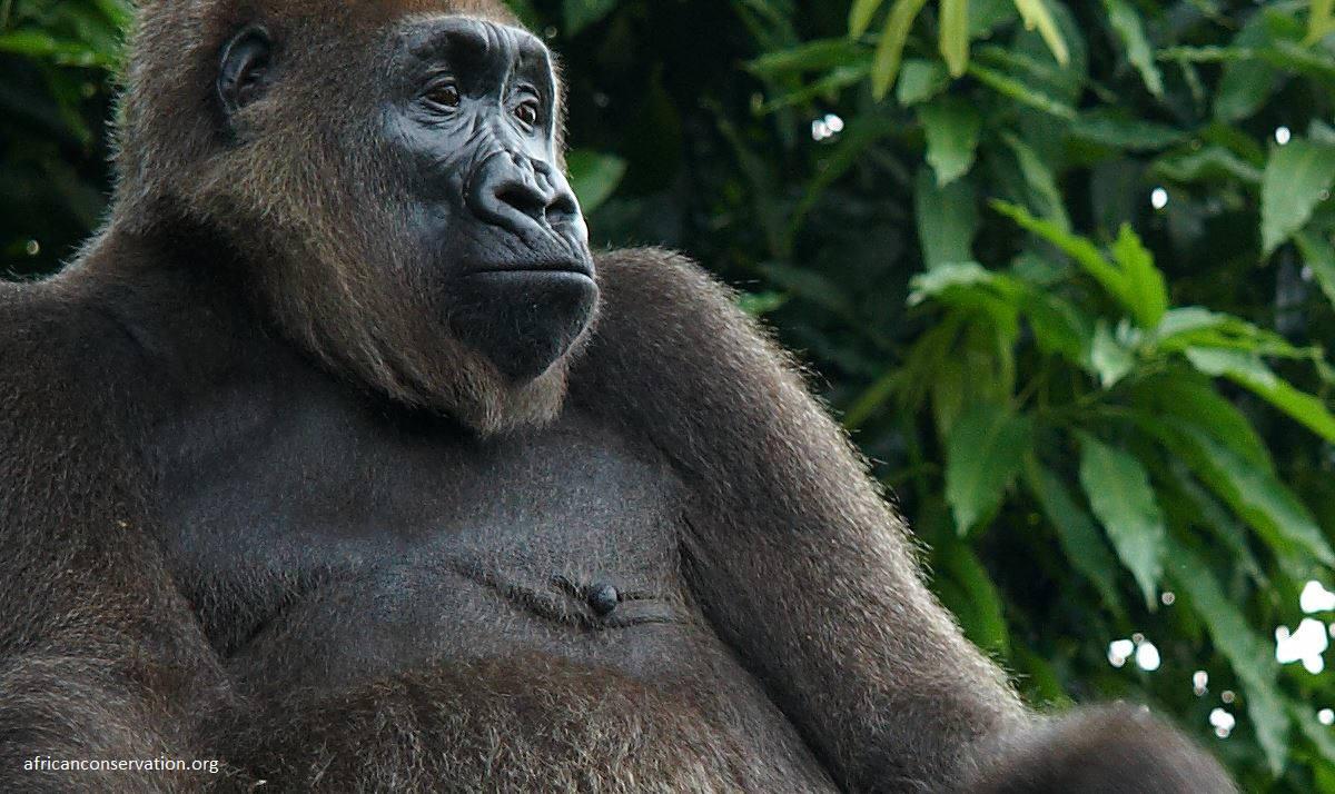 news cross-river-gorilla