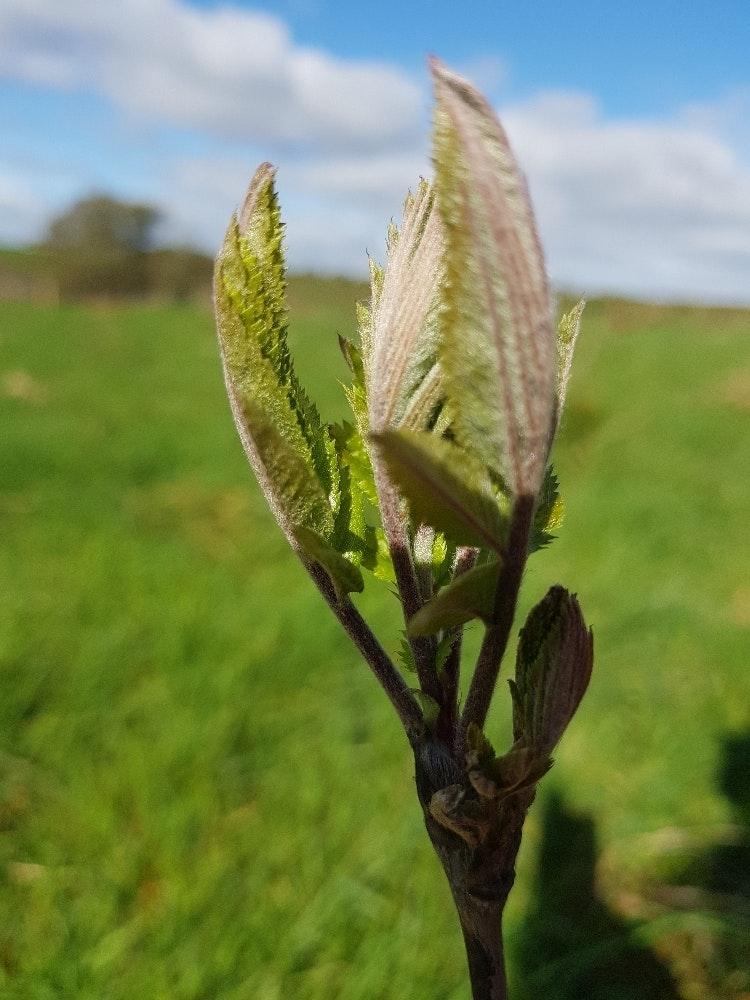 rowan sapling  unfurling planted by TreeSisters Cork Grove