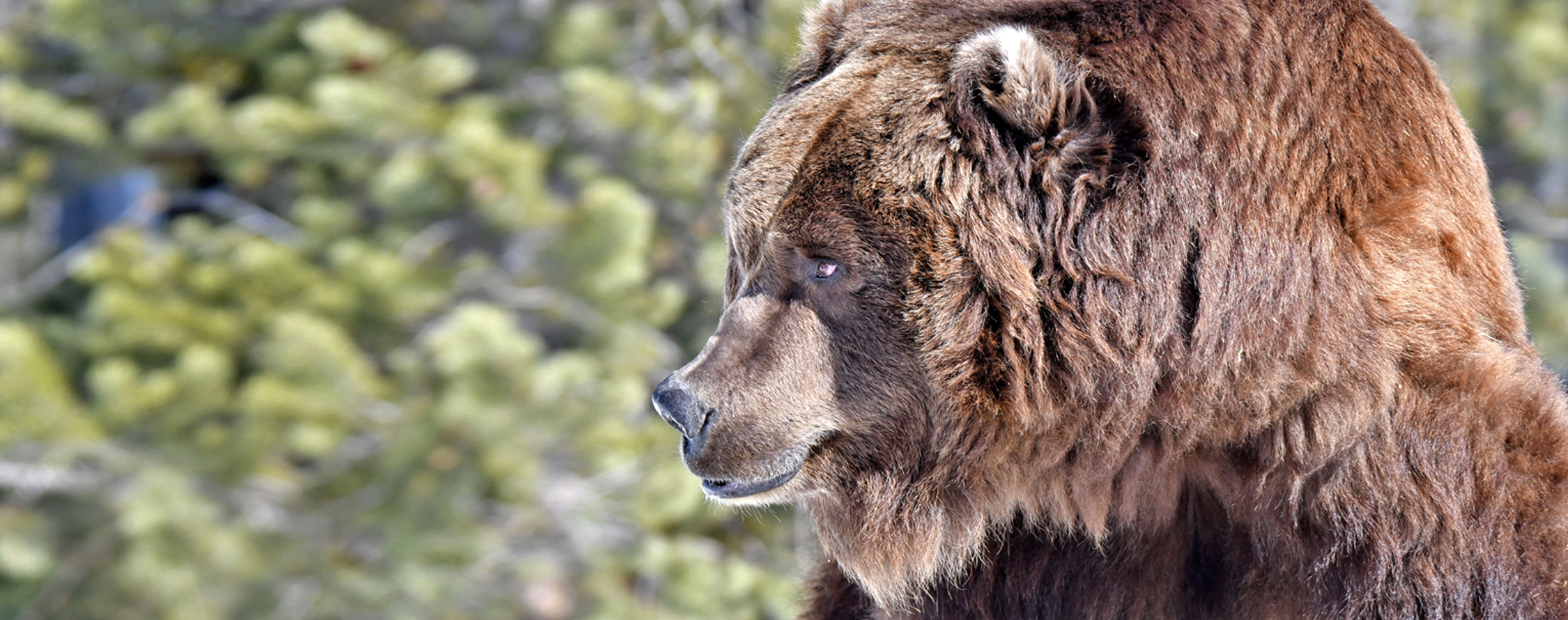 adopt-a-grizzly-bear