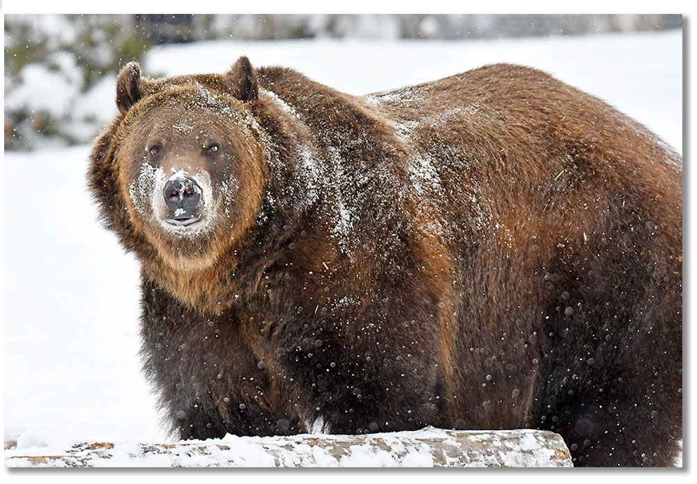 grizzly-bear-coram