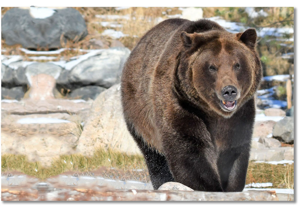 grizzly-bear-grant