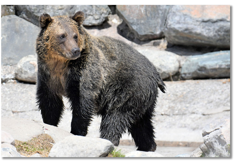 grizzly-bear-condi