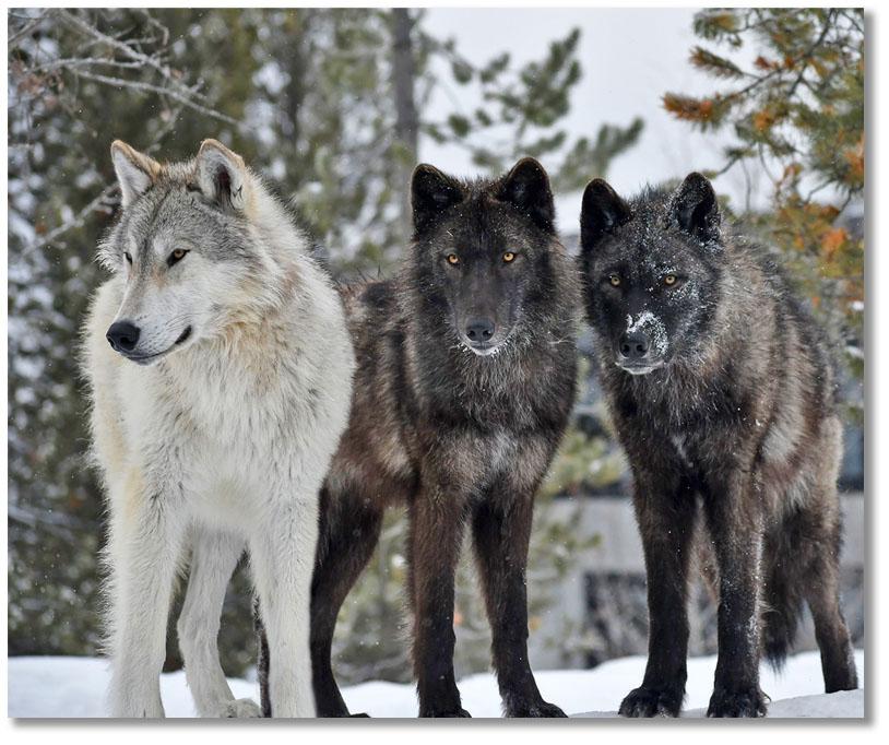 hoodoo-wolf-pack