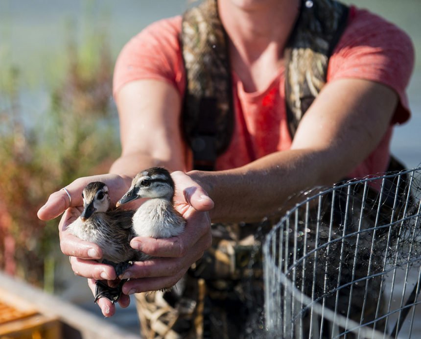 Holding baby ducks.