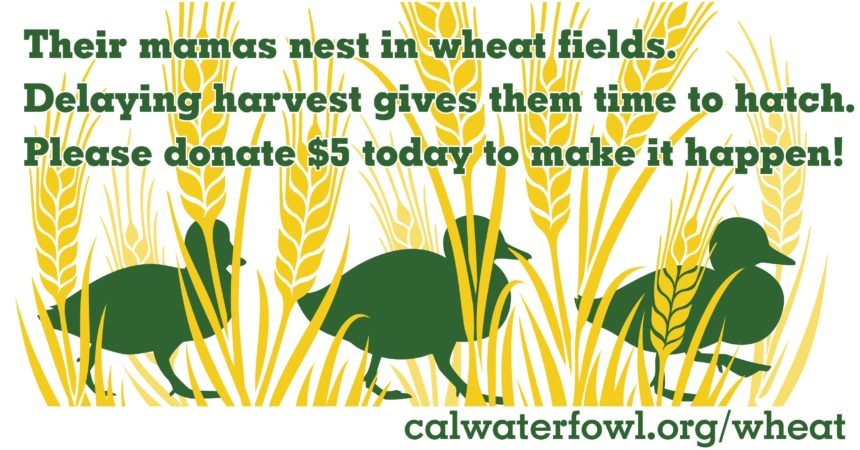 """Illustration of ducklings walking in wheat, with text saying, """"Their mamas nest in wheat fields. Delaying harvest gives them time to hatch. Please donate $5 today to make it happen! calwaterfowl.org/wheat"""""""