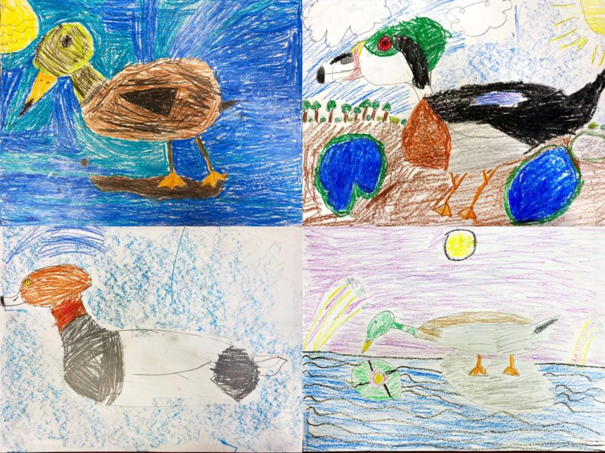 Examples of ducks drawn by children using a California Waterfowl tutorial