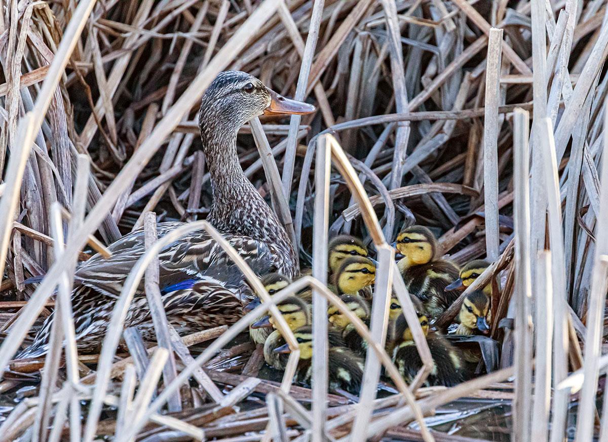 Mallard hen hiding with her ducklings in bulrush