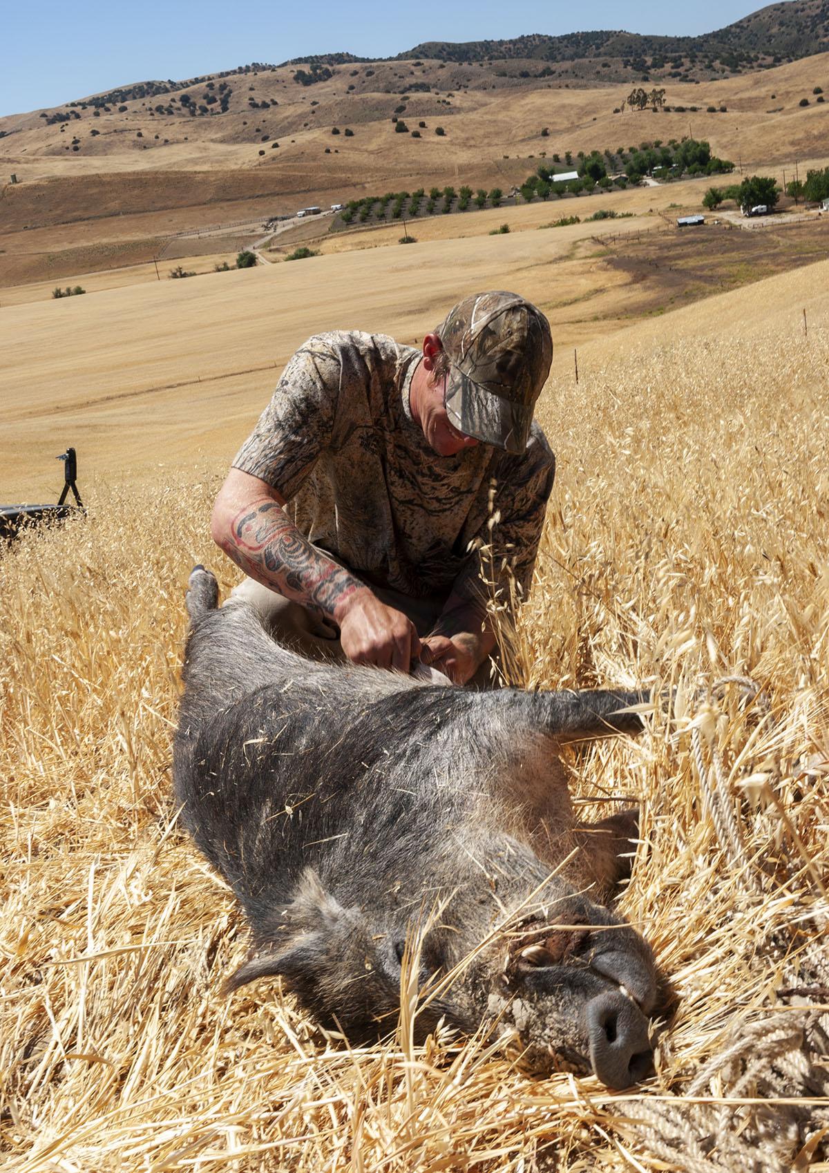 A hunter begins field dressing a pig