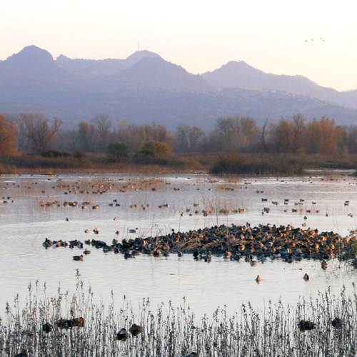 Photo of ducks on a pond with the Sutter Buttes in the background (CHADD SANTERRE/ 2018 CALIFORNIA WATERFOWL)