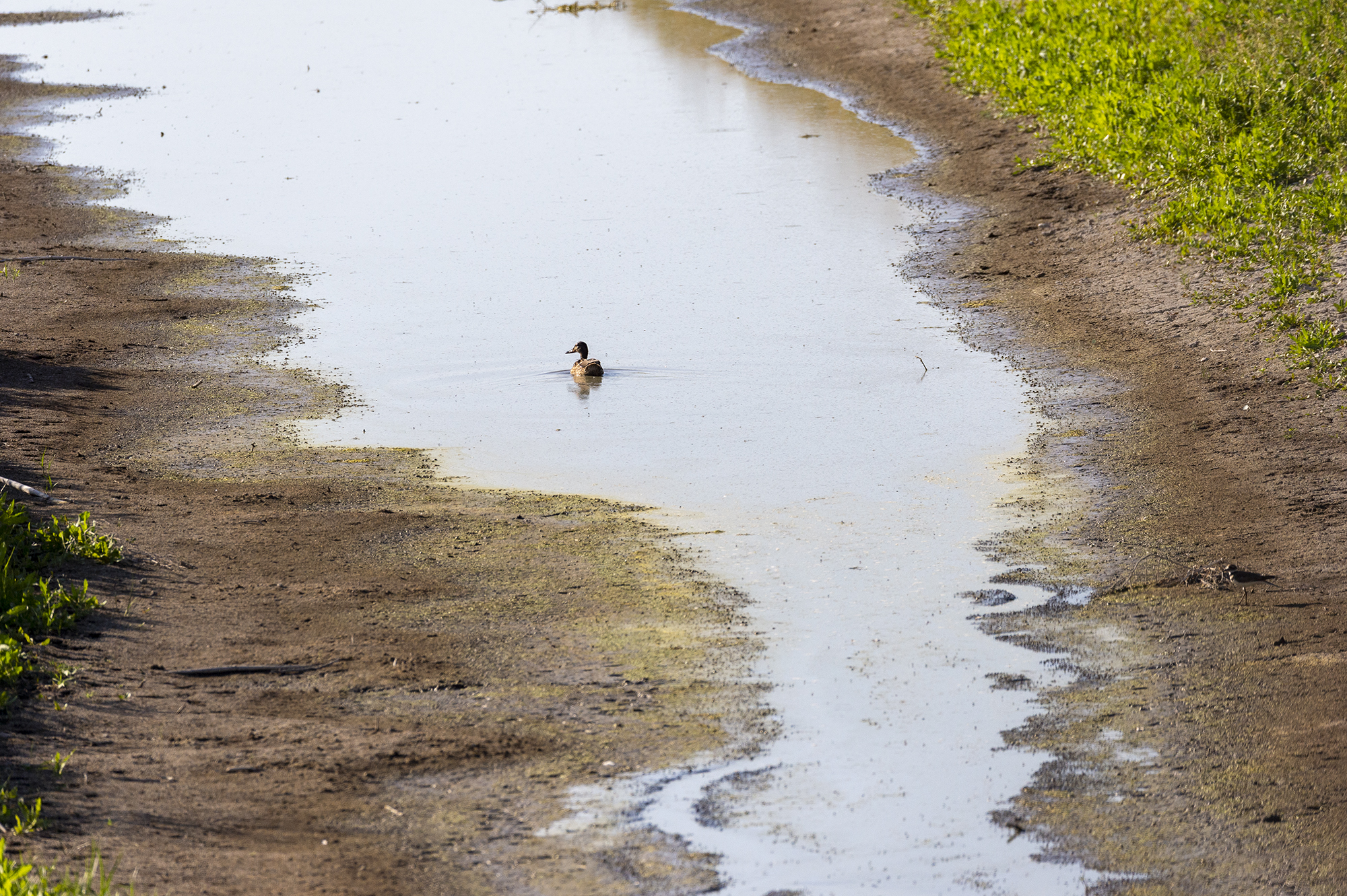 A flightless duck swims in the receding waters of a ditch