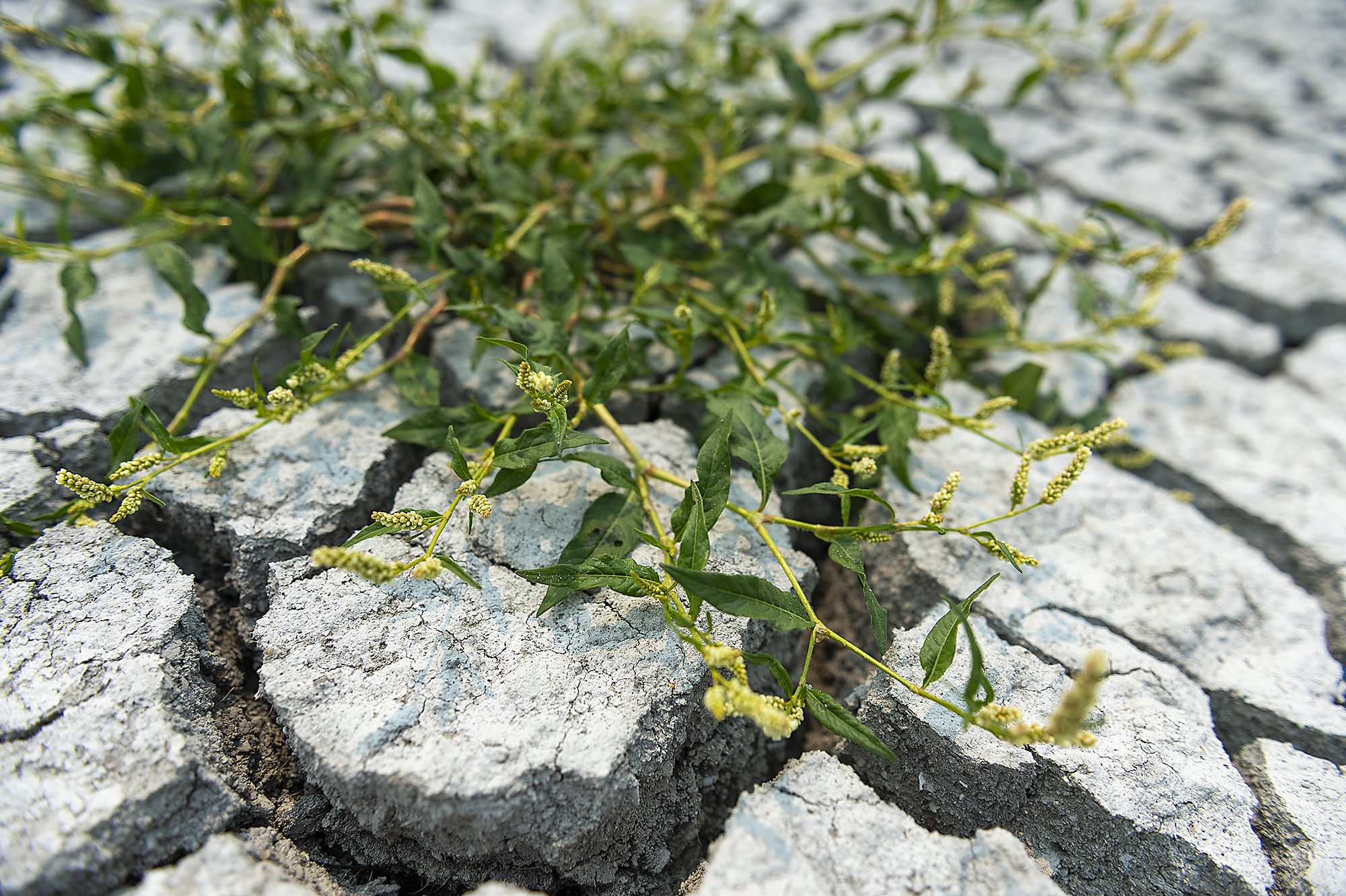 Smartweed growing in the drained Sump 1A at the Tule Lake NWR