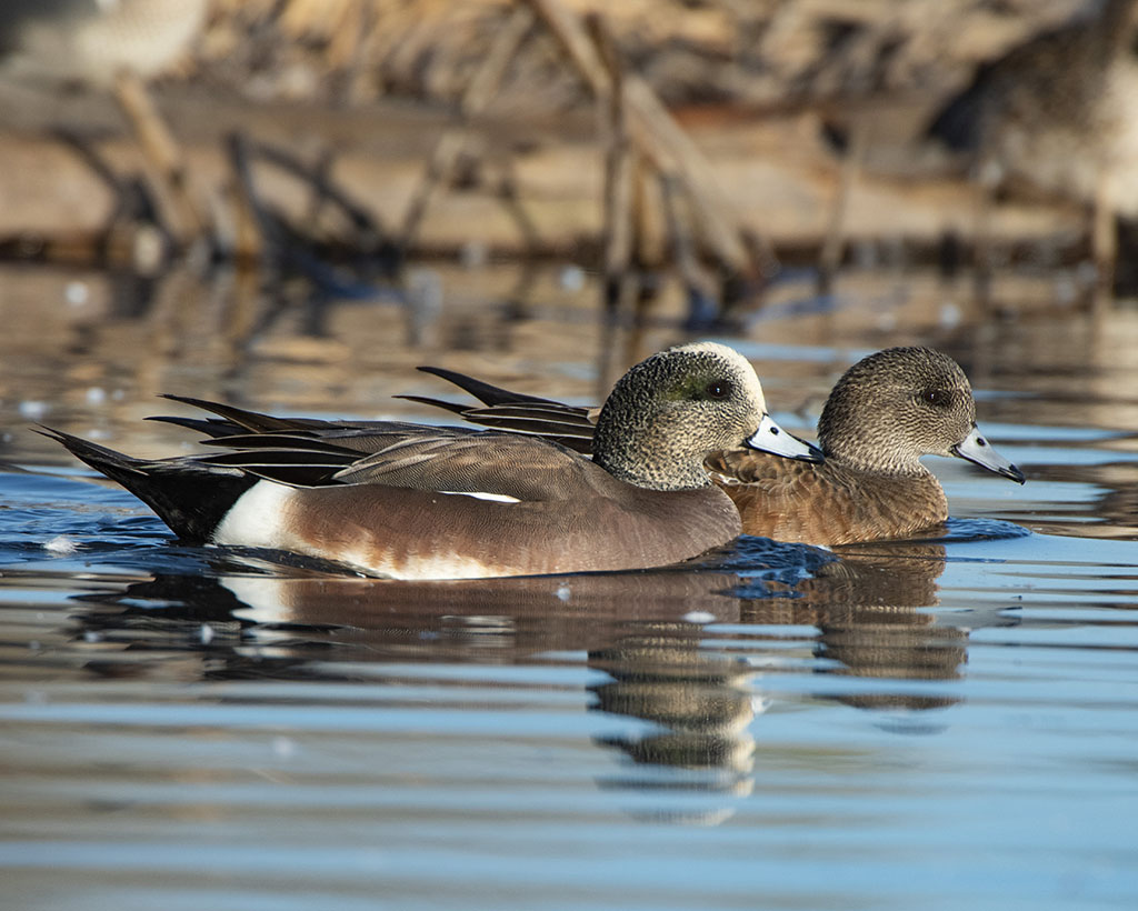 Hen and drake wigeon