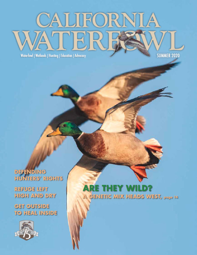 Cover of Summer 2020 issue of California Waterfowl, which features two drake mallards in flight.