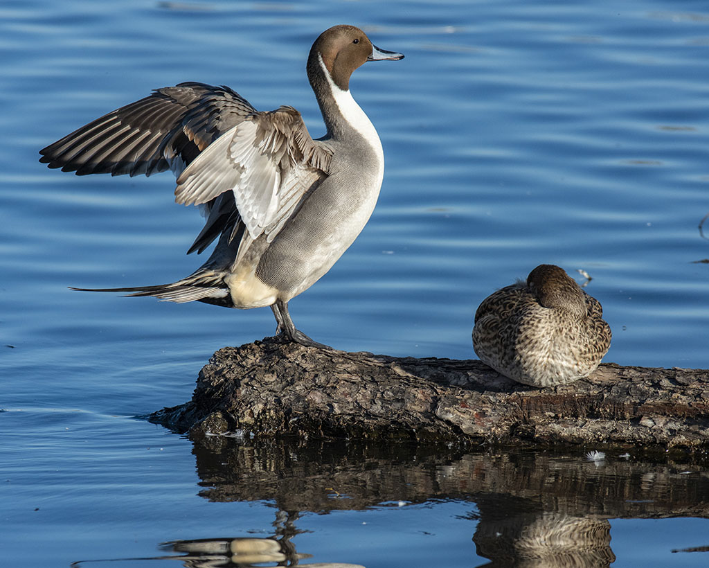 Pintail drake spreading wings