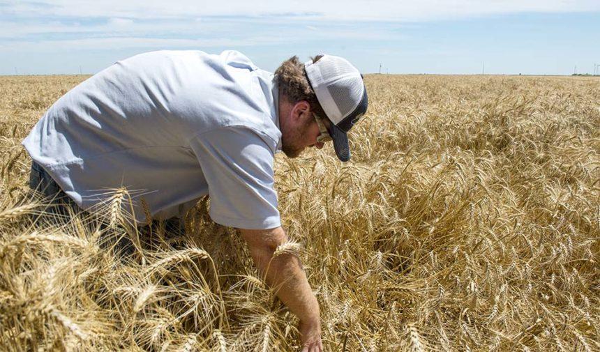 Farmer searches wheat field for a duck next