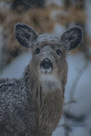 Sylvia Vidal - Snowy Deer