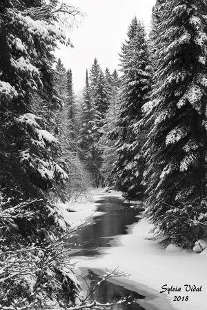 Sylvia Vidal - Snowy Pines