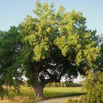 Native Tree of Kansas