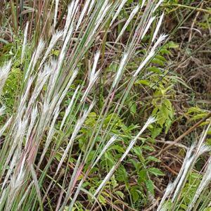 Andropogon ternarius (splitbeard broomsedge)
