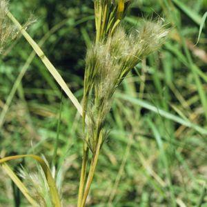 Andropogon glomeratus (bushy beardgrass)