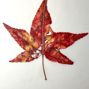 Leaf Drawing on Mylar – October 30