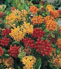 Asclepias tuberosa 'Gay Butterflies' (butterfly milkweed)
