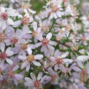 Aster (Symphyotrichum) cordifolius (blue wood aster)