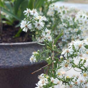 Aster (Symphyotrichum) ericoides 'Snow Flurry'