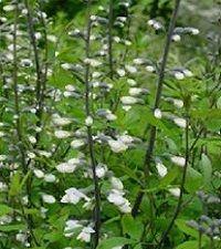 Baptisia alba (wild white indigo)