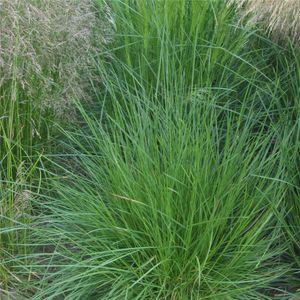 Deschampsia cespitosa (tufted hair grass)