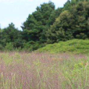 Eragrostis spectabilis (purple love grass)