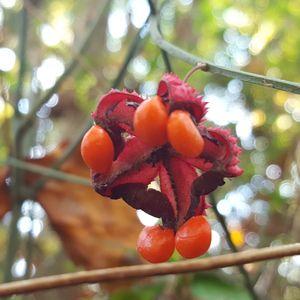 Euonymous americanus (strawberry bush)