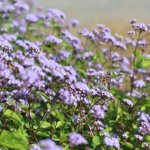 Eupatorium coelestinum (blue mistflower)