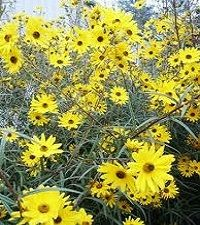 Helianthus angustifolius (swamp sunflower)