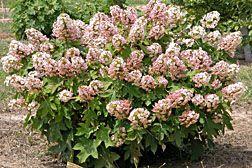 Hydrangea quercifolia 'Munchkin' (oakleaf hydrangea)