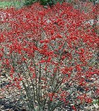 Ilex verticillata 'Red Sprite' (winterberry, female)