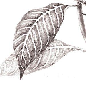 Botanical Drawing I – September 17–October 15