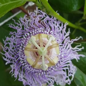 Passiflora incarnata (purple passionflower)