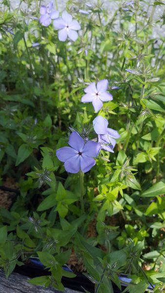 Phlox Divaricata Blue Moon Woodland Phlox