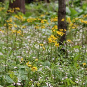 Senecio aureus / Packera aurea (golden ragwort)