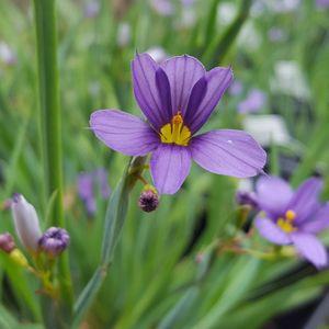 Sisyrinchium angustifolium 'Lucerne' (blue-eyed grass)